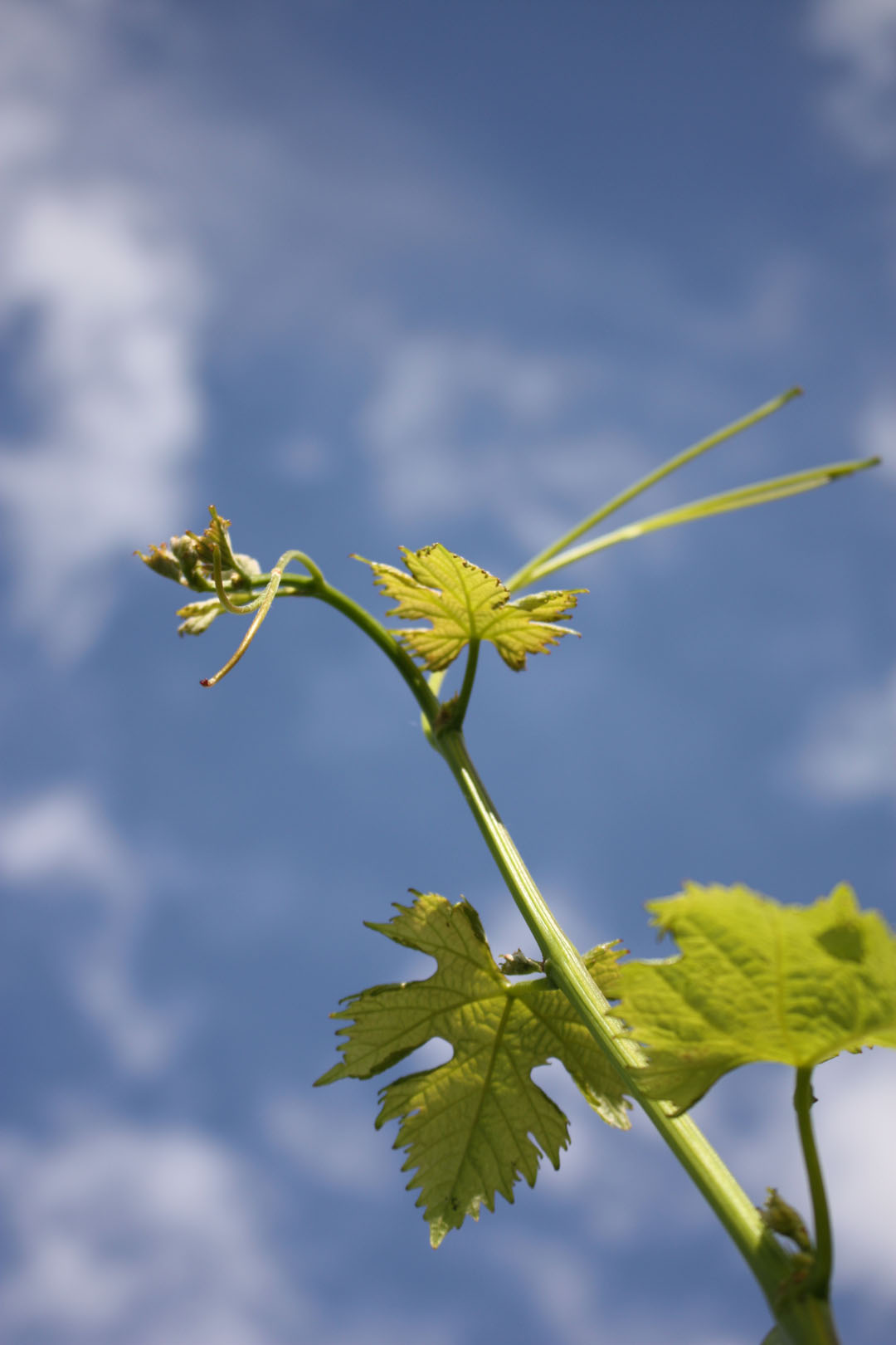 Nachhaltiger Wein. Rebstock vor blauem Himmel