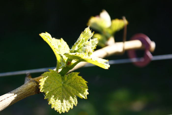Rebstock aus dem Weingarten Weingut Kerbl