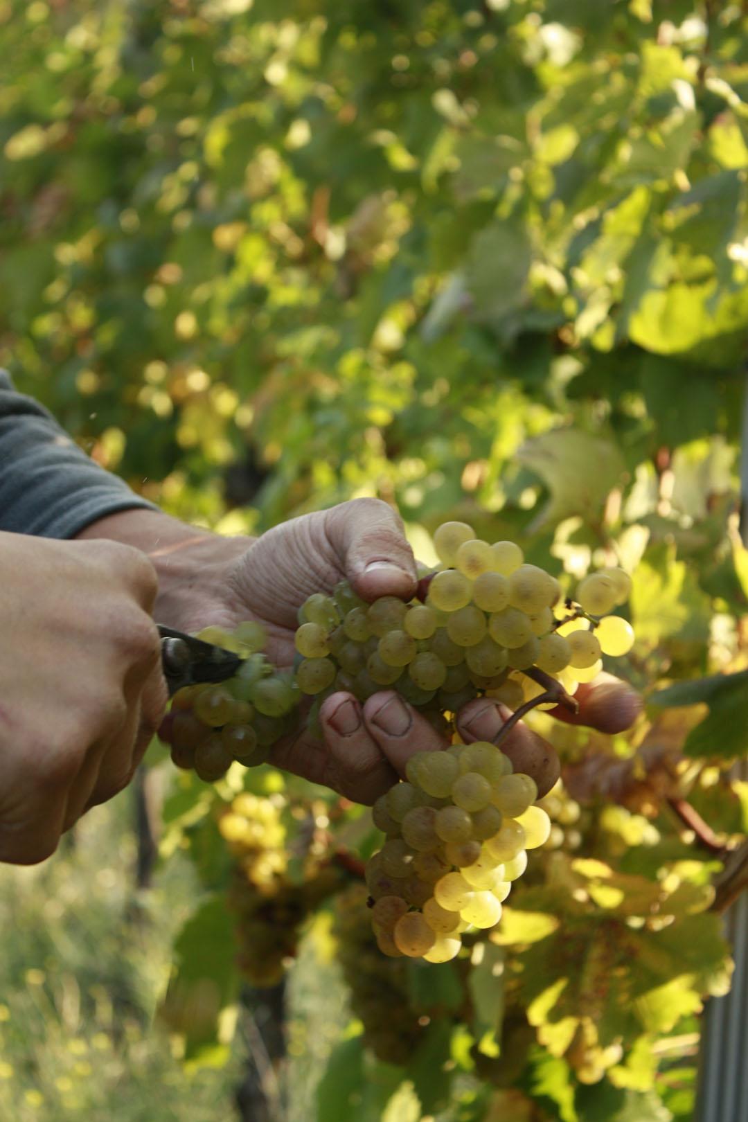 Trauben Ernten im Weingarten des Weingutes